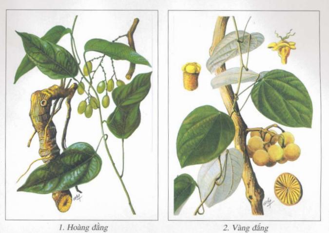 Hoàng đằng và Vàng đắng là hai nguồn dược liệu chính cung cấp berberin